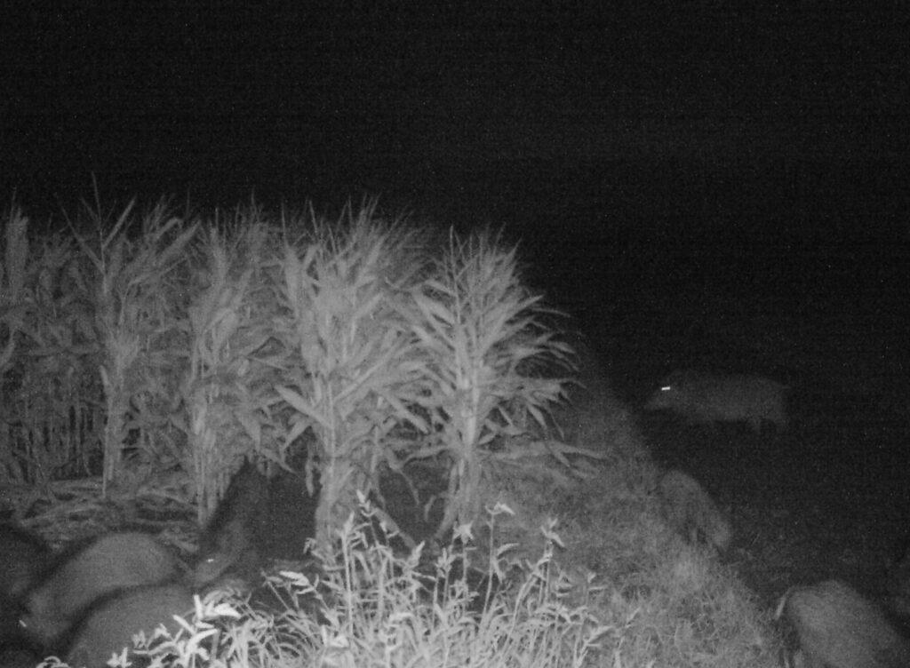 Wildschweine bei Nacht