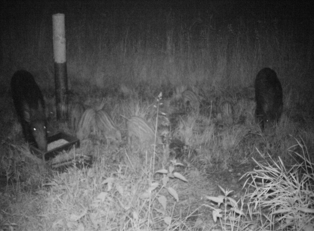 Wildschweinhorde bei Nacht